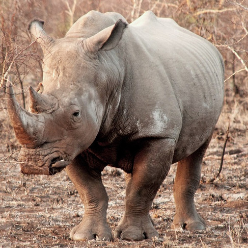 All About Rhinos