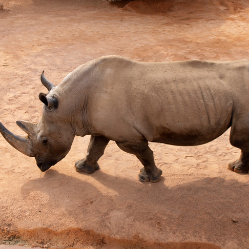 Dehorning Rhinos to Protect the Species