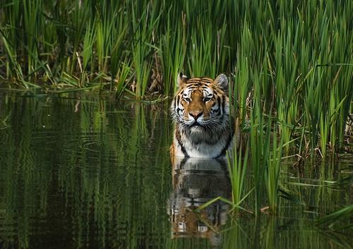 A tiger bathing