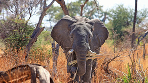 An Elephant Never Forgets (Where the Food Was)