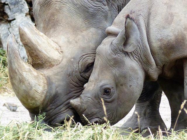 Rhinos grazing in Africa