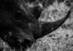 BW Rhino Background.jpg