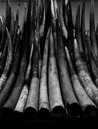BW - Ivory Ban.jpg