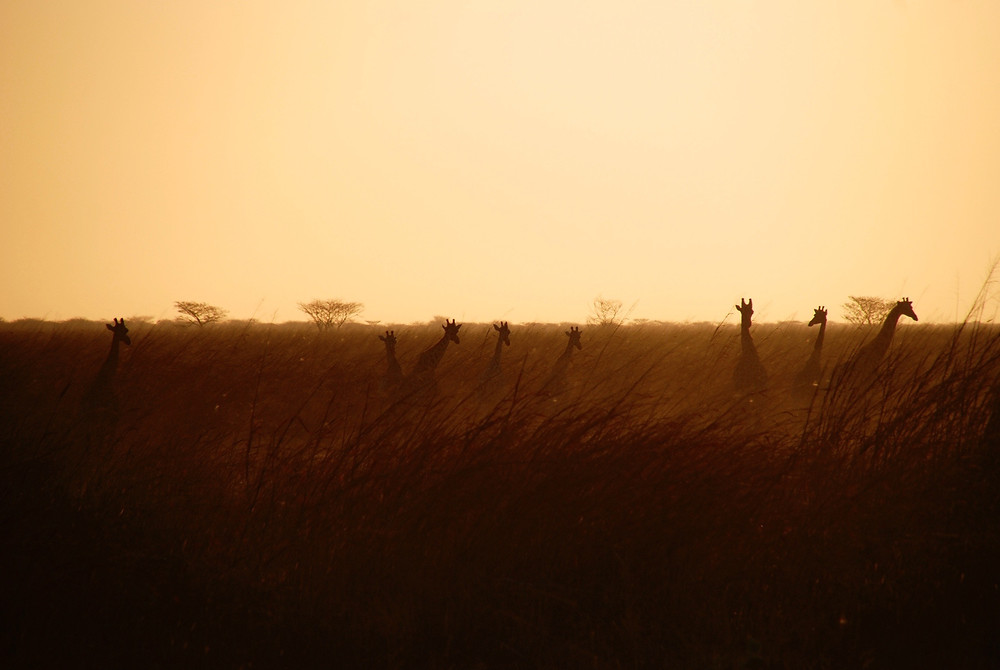 Herd of giraffe at sunset.