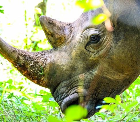Do Rhino Horns and Elephant Tusks Grow Back?