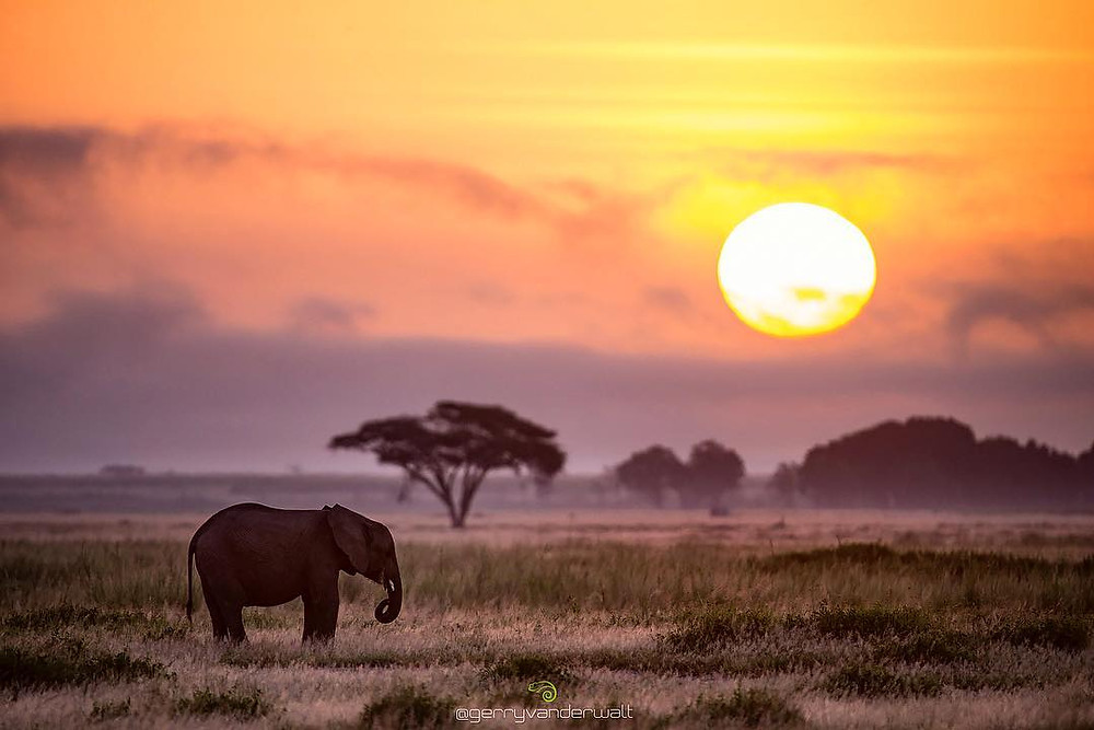 A lone elephant during a sunset
