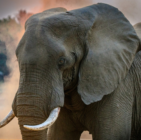 Essential to the Ecosystem: Elephants May Be the Ecosystem Engineers of their Habitats