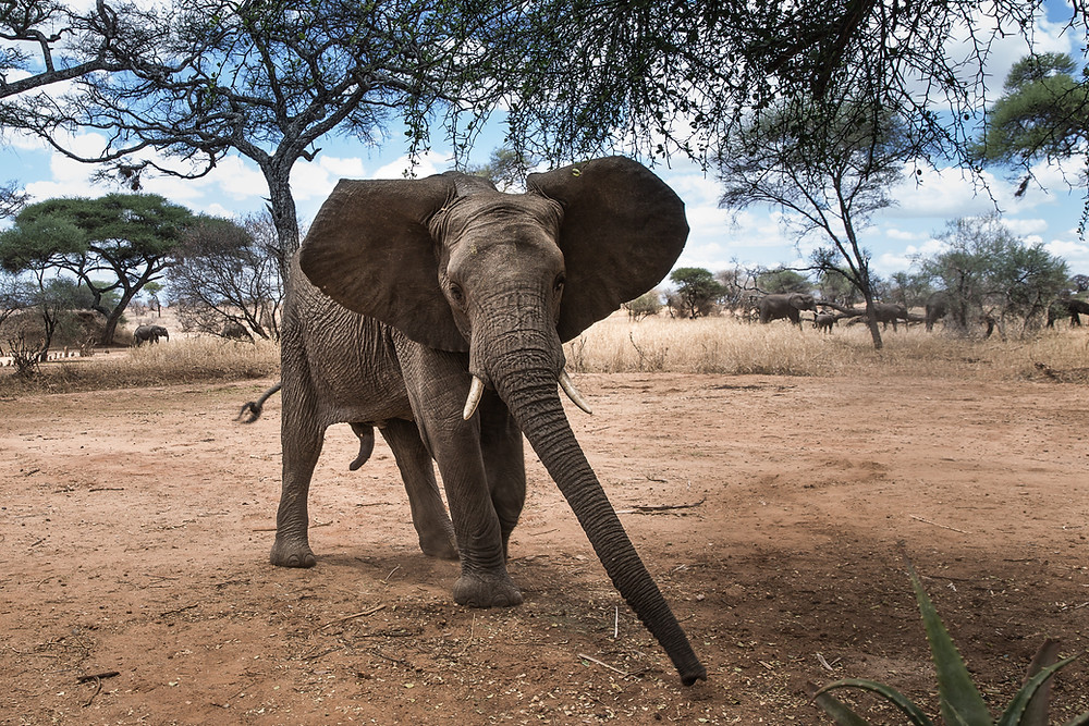 Elephant with extended trunk