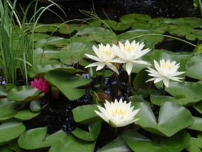 Backyard Connection: Selecting Water Lilies