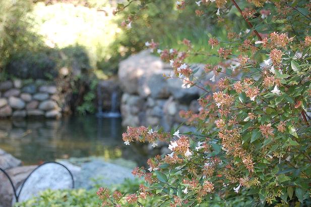 Abellia water garden.JPG