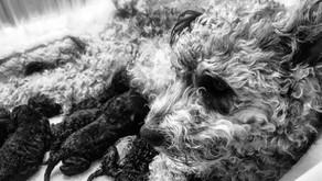Pumi Puppies!