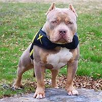 Bully  Xdog Vest.jpg