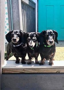 Three dachshunds in play yard doggie daycare boarding