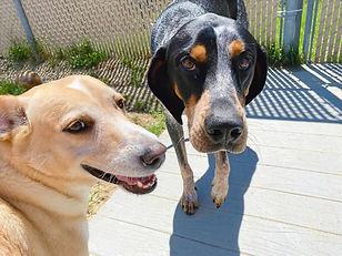 Two dogs in play yard boarding