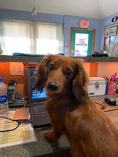 Dachshund in pet resort office Hatteras Island pet care