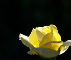 yellow_rose_195130.jpg