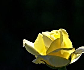 yellow_rose_195130.jpg