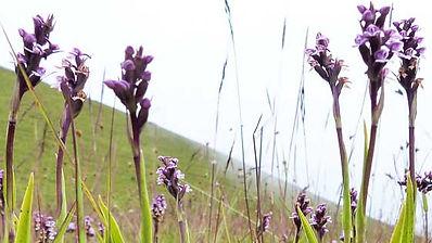 Brownleeaparviflora .jpg
