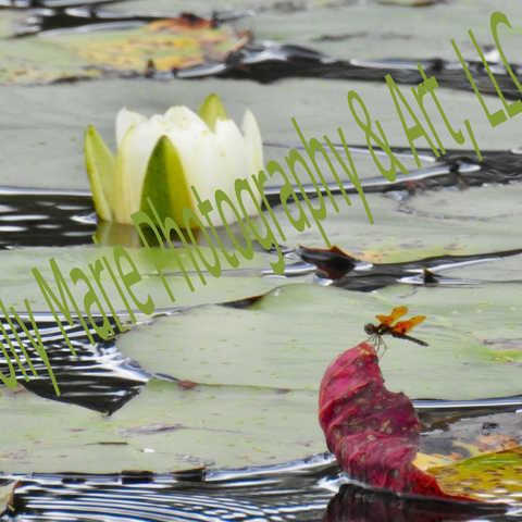 Waterlily & Dragonfly