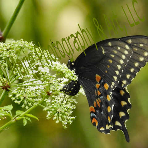 Pipevine Swallowtail Closed Wings