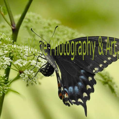 Pipevine Swallowtail Open Wings