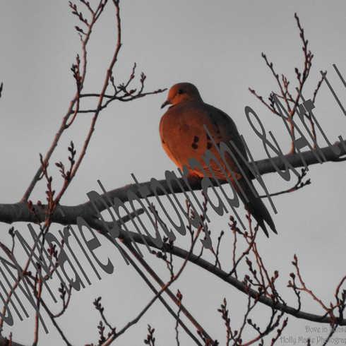 Dove in Sunset