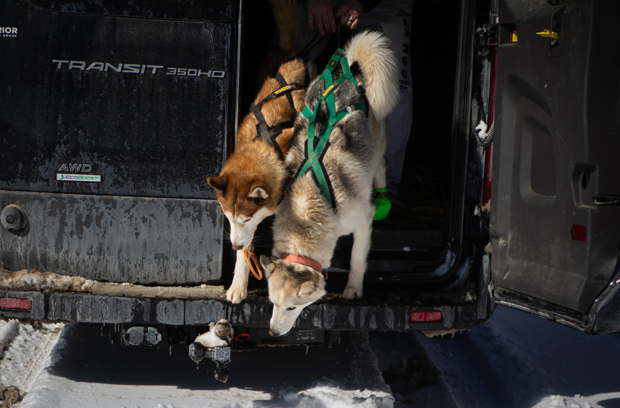 Sled dogs Juneau, left, and Teemu hop out of Richie Camden's van, in their harnesses and ready to be attached to the line.