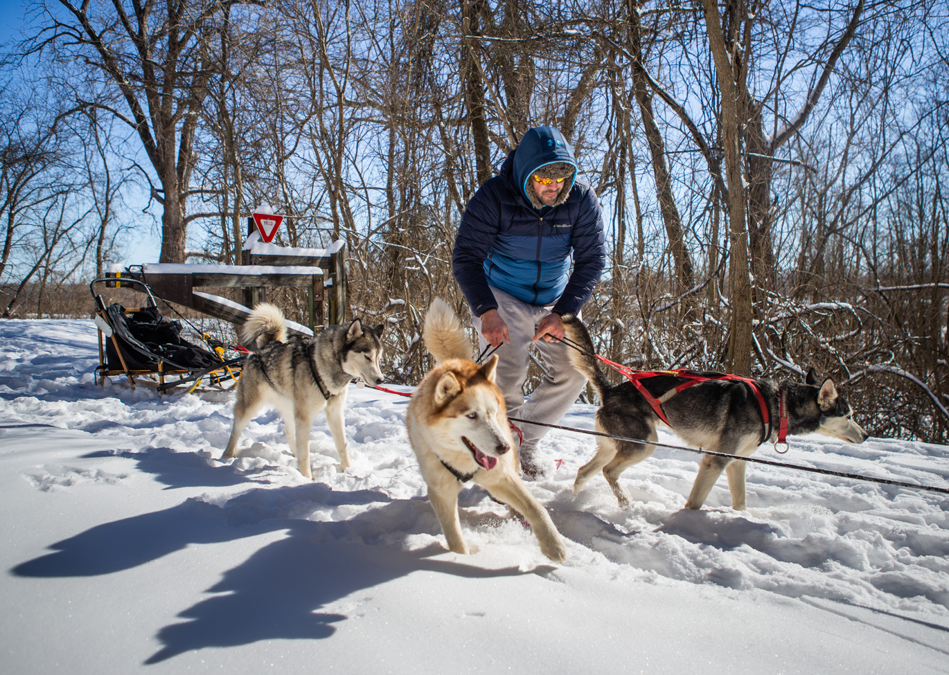 """Richie Camden gets his nine-dog sled team into their harnesses before a training run on the Katy Trail near Defiance, Missouri on Feb. 16, 2021. The past few weeks of snow have been a special treat for the team which runs """"dry-land"""" training when the ground isn't covered."""