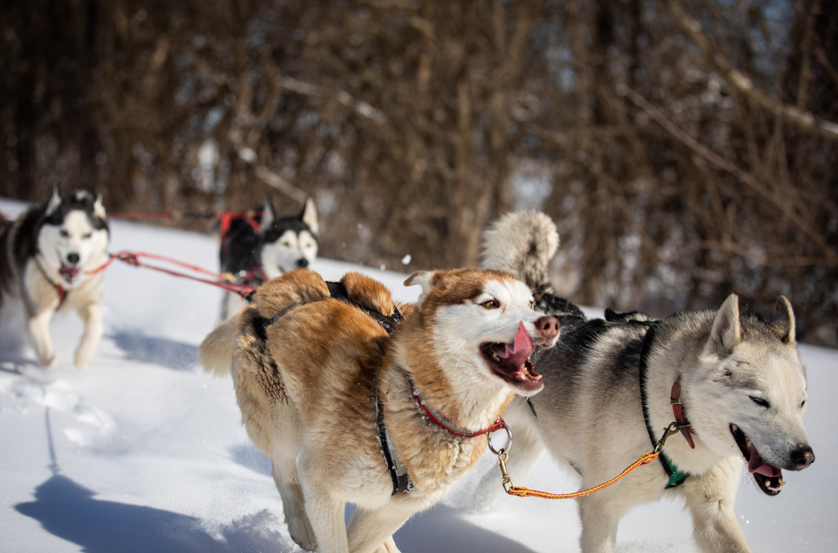 Sled dogs Juneau, front left, and Teemu, front right, break the trail through the snow for the rest of Richie Camden's during a training run on the Katy Trail.