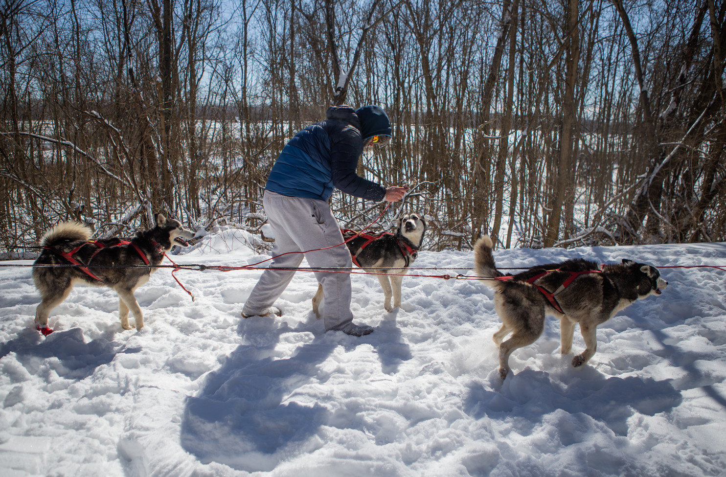 Richie Camden gets his nine-dog sled team into their harnesses before a training run on the Katy Trail.