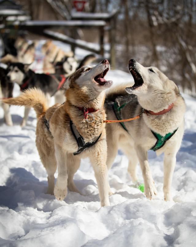 Richie Camden's sled dogs Juneau, left, and Teemu bark in excitement as the team is assembled behind them.