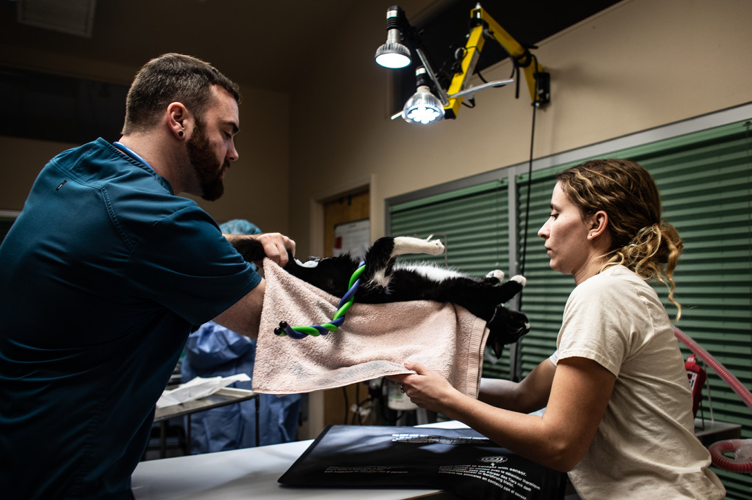 Human Society Clinic Coordinator Ryan Jette, left, and veterinary assistant Mason DeMagio lay a cat down on the surgical table after prepping it for a neuter during a low-income spay/neuter clinic on Feb. 27, 2020. Since hiring a full-time veterinarian, the clinic moved from having only 3-6 low-income spay/neuter clinics a year to having them twice a week. This lowered the demand and increased the attention the vet can provide to each pet, making the clinics safer and more humane.