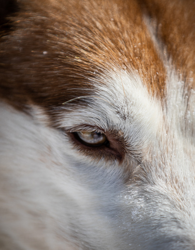Snow flakes stick to the face of Richie Camden's sled dog Jeneau as she waits for the rest of the team to get ready to go.