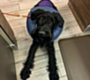 Black dog Surgery - Tritt Animal Hospita