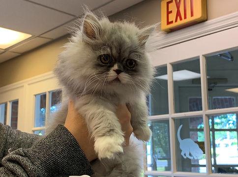 Remy the cat - Tritt Animal Hospital _ed