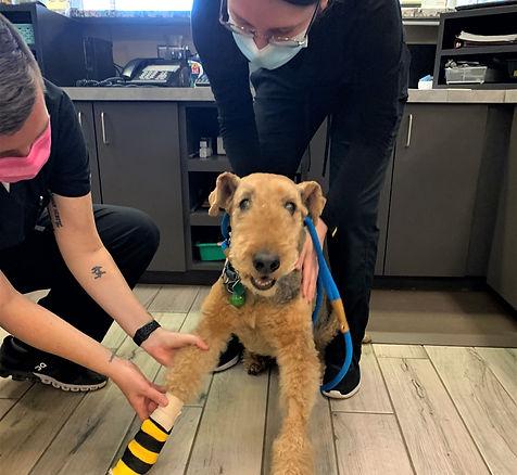 Toby Dog Bandage change Tritt Animal Hos