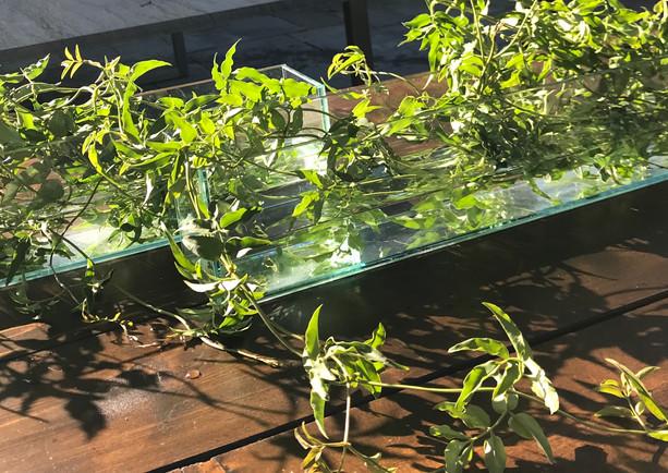 jasmine vine in glass trays