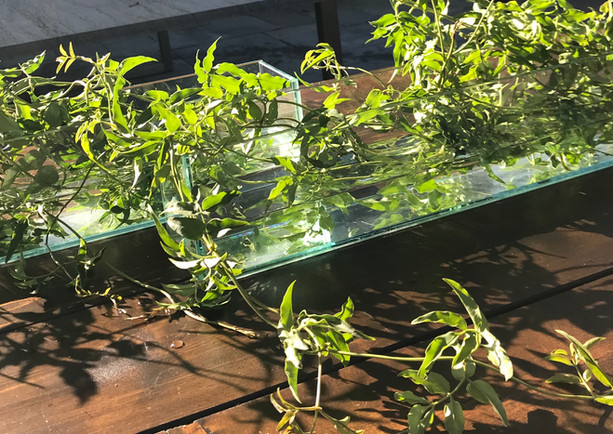 jasmine vine in glass trays