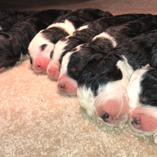 Accepting deposits for  Hazel & Milo's F1 Mini Bernedoodles born March 26th, 2018 5 males & 5 females
