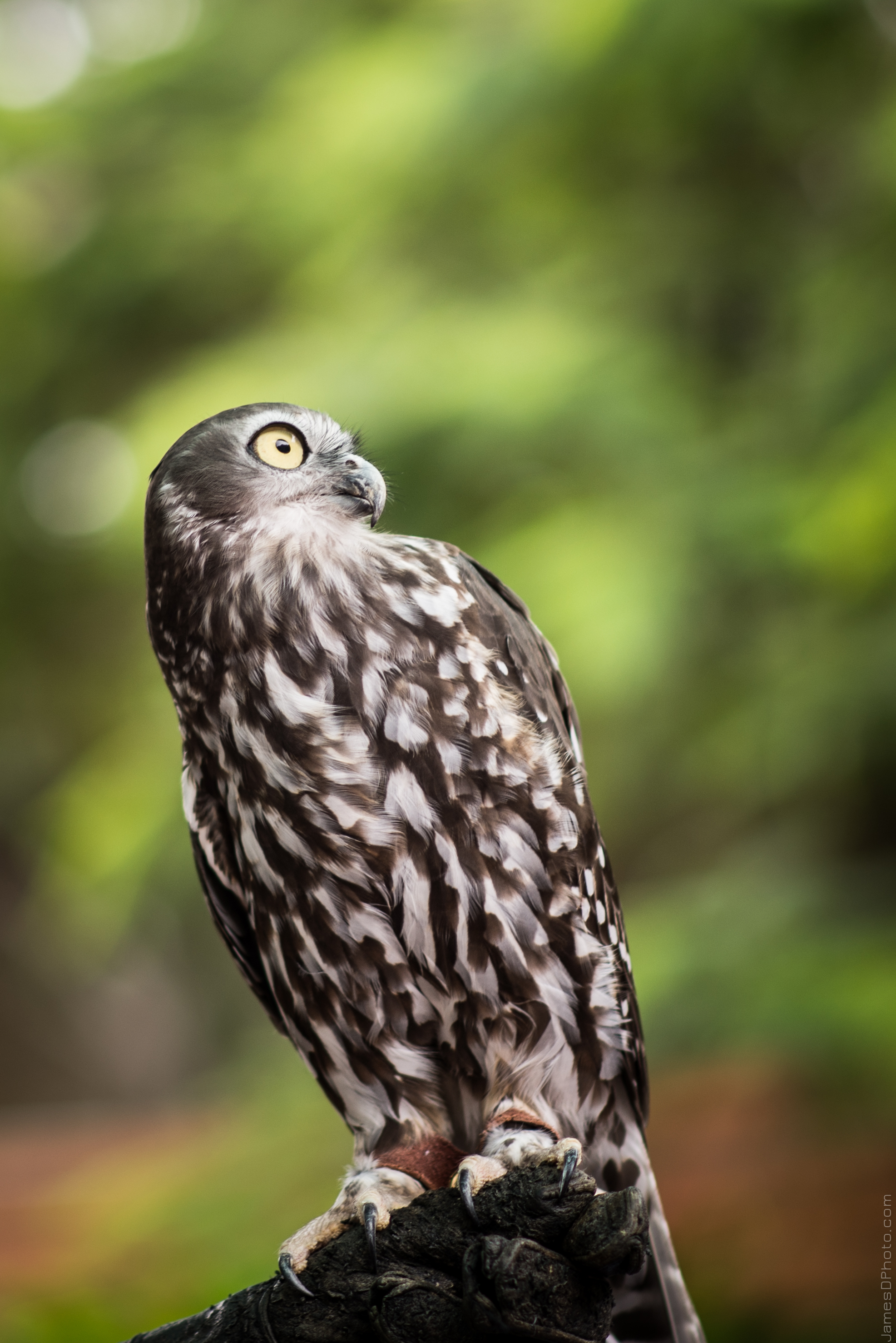 Bundy the Barking Owl