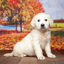 White Cream Golden Retriever Puppy