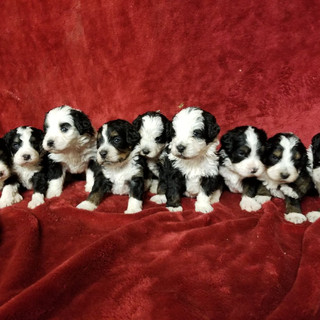 Accepting deposits for  Hazel & Milo's F1 Mini Bernedoodles born March 26th, 2018 4 males & 5 females