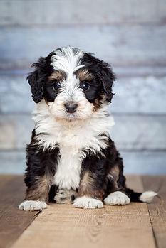 Mini & Standard Bernedoodle Puppies