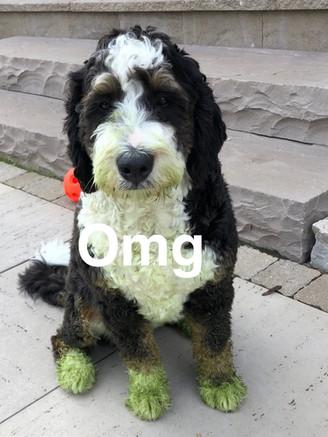 Bentley helps mow grass!