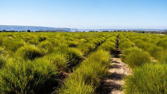 High Quality Rooibos Tea Farming at Cape Natural Tea Products bulk supplier of Rooibos tea South Africa