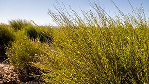 Rooibos farming Cape Natural Tea Products