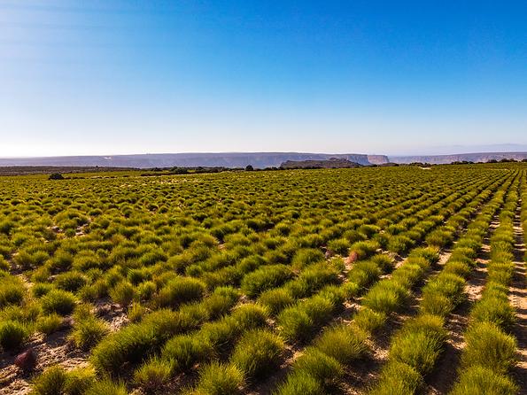 Rooibos Landscape Cape Natural Tea Products