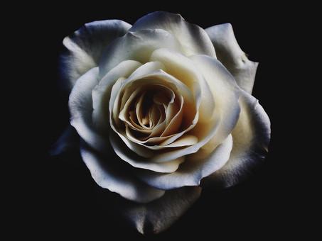 La Rosa De York
