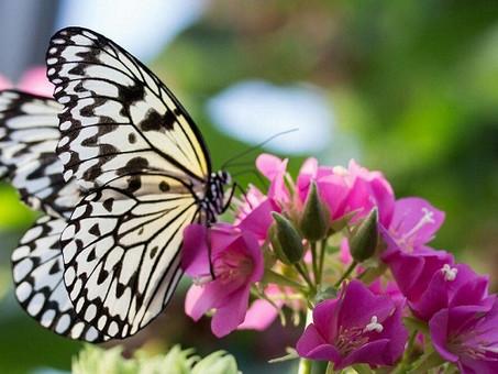 Capullo De Mariposa