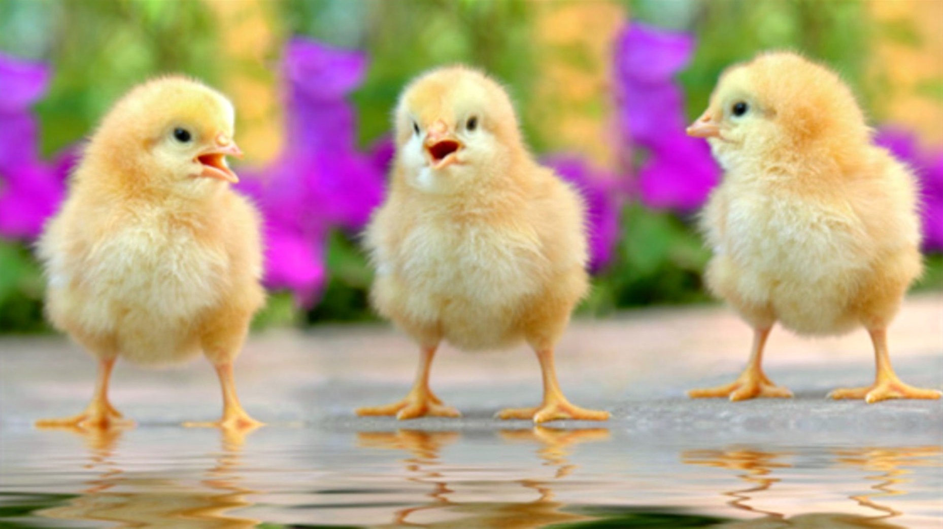 how-did-chicken-cross-ocean_edited.jpg